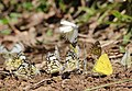 Mudpuddling Butterflies Chinnar WLS Kerala (59).jpg