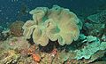 Mushroom Leather Coral (Sarcophyton sp.) (8455408563).jpg