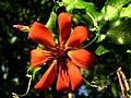 Mutisia sp., clavel del campo.jpg