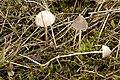 Mycena.leptocephala5.-.lindsey.jpg