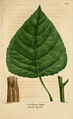 NAS-094 Populus deltoides.png