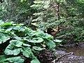 NP TARA - Biljke velikog lisca pored potoka.jpg