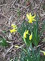 Narcissus February Gold.jpg