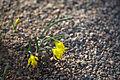Narcissus asturiensis 01.jpg