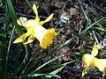Narcissus muñozii-garmendiae 2.jpg
