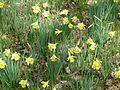 Narcissus pseudonarcissus - Flickr - peganum.jpg