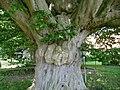 Naturdenkmal Hainbuche Döhren Melle -Unterm Baum- Datei 11.jpg