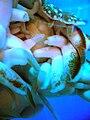 Nautilus pompilius.005 (tentacles) - Aquarium Finisterrae.JPG