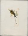 Nectarinia platura - 1820-1860 - Print - Iconographia Zoologica - Special Collections University of Amsterdam - UBA01 IZ19000109.tif