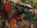 Nembrotha kubaryana (Nudibranchia) - Dumaguete, Philippines - (2).jpg