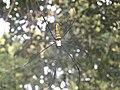 Nephila clavata found in Ranchi.jpg