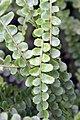 Nephrolepis cordifolia Duffii 0zz.jpg
