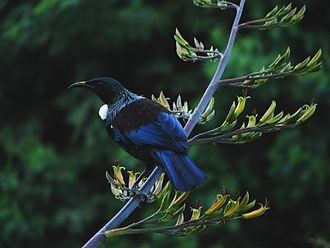 Phormium tenax - Tui on New Zealand flax