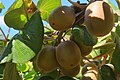 New variety of golden kiwifruit (Gold3 'Sungold') almost ready for harvesting.jpg