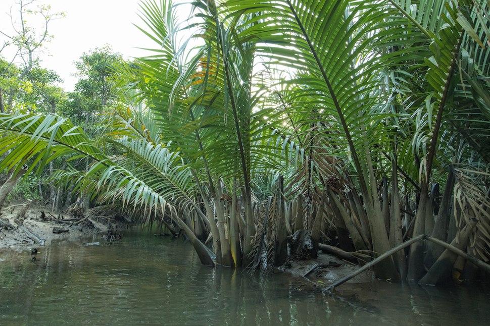 Nipa palms in mangrove swamp, Iriomote Island, Okinawa, Japan
