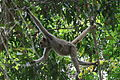 Northern muriqui locomotion in tree.jpg