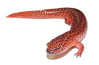 Northern red salamander (Pseudotriton ruber).JPG