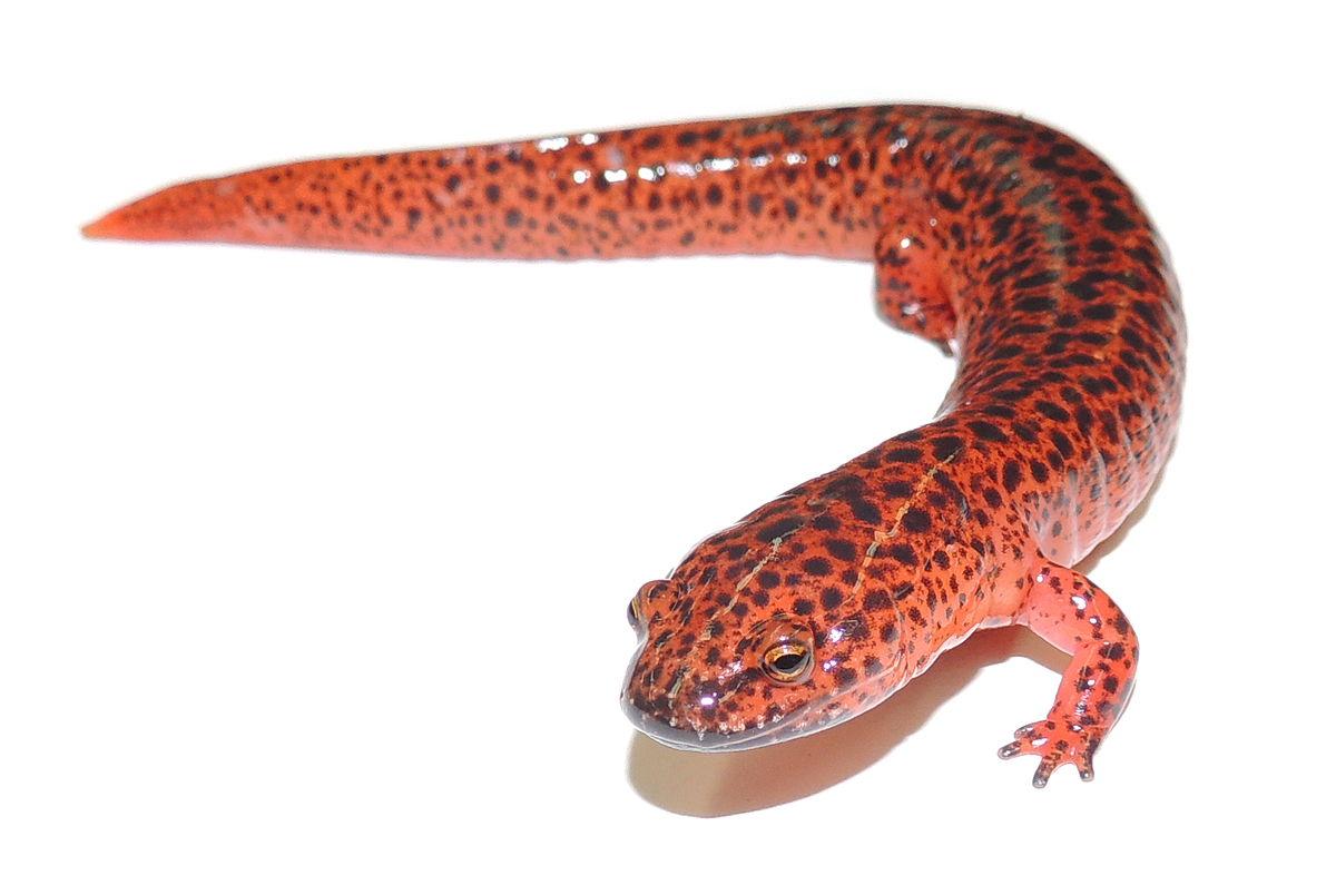 salamander white background - photo #34