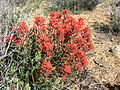 Northwesten Indian paintbrush (Catilleja angustifolia); Desert Queen Mine.jpg