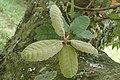 Notholithocarpus densiflorus kz01.jpg