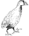 Notornis (PSF).png
