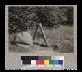 Nutmeg (2-0) planted in field last spring - Caspar Lumber Company. 1923.png