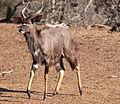 Nyala bull again (6073150273).jpg