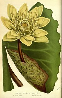 Nymphaea amazonum Fl. Serres 11. 21. 1856