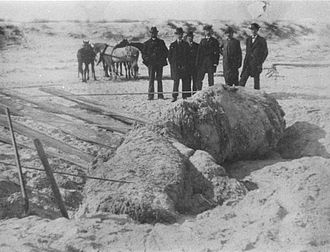 """Globster - The partially dug out carcass of the """"St. Augustine Monster"""""""