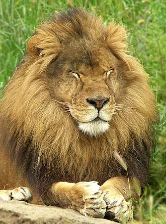 Oakland Zoo - Image: Oakland Zoo Lion