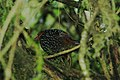 Ocellated Tapaculo 2015-06-06 (5) (38501195030).jpg