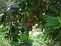 Ochrosia elliptica.jpg