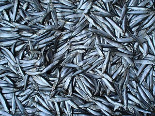 Sprat Common name for several kinds of forage fish