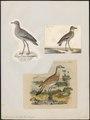 Oedicnemus crepitans - 1833-1839 - Print - Iconographia Zoologica - Special Collections University of Amsterdam - UBA01 IZ17200089.tif