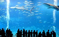 Two whale sharks in the Okinawa Churaumi Aquarium.