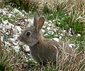 Old Sarum, young rabbit on the inner mound - geograph.org.uk - 1189646.jpg
