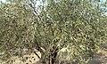 Olea europaea tree.jpg