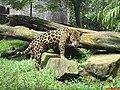 Onça Pintada (Panthera onca) Parque Ecológico e Zoológico de São Carlos - panoramio.jpg