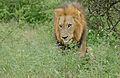 One-eyed Lion (Panthera leo) (16608975452).jpg