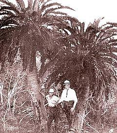 Pohon Juga bisa Jones - Encephalartos woodii