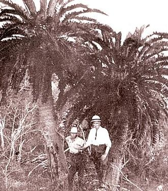 ONgoye Forest - Last two stems of Wood's cycad at oNgoye Forest, early 1900's