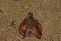 Open wing posture Mudpuddle activity of Halpe aucma Swinhoe, 1893 – Gold-spotted Ace WLB DSC 3229.jpg
