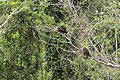 Opisthocomus hoazin -Manu National Park, Peru-8 (2).jpg