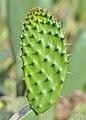 Opuntia ficus-indica qtl1.jpg
