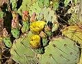Opuntia phaeacantha 6.jpg