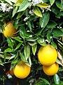 Orange Blossoms, Prospect Park 4-2012 (6896508526).jpg