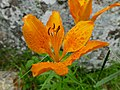 Orange Lily (Lilium bulbiferum var. croceum) (35655707846).jpg