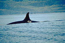 Killer whale with only top of back and dorsal fin visible above water surface, the dorsal fin curves backward at the tip.