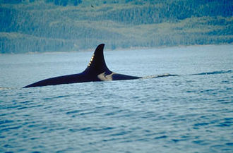 Captive killer whales - The dorsal fin and saddle patch of a killer whale known as Sonora or sometimes Holly (A42) of the Northern Resident Orcas