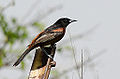 Orchard Oriole (8755436188).jpg